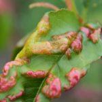 Basicarea frunzelor – Taphrina deformans, plan complet de tratament