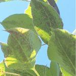 Acarianul galicol (ruginii) la păr (Epitrimerus pyri) – metode de combatere