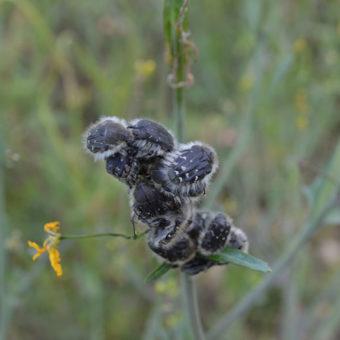 Gandacul paros (Epicometis hirta) - punctele slabe și forte