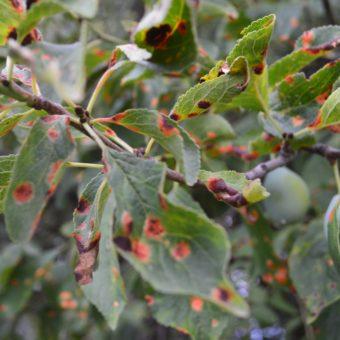 Patarea rosie a frunzelor de prun - simtome, cele mai eficiente tratamente