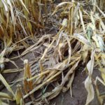 Putregaiul tulpinilor de porumb Fusarium verticiloides- boala din cauza căreia porumbul cade înaintea recoltatului