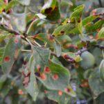 Patarea rosie a frunzelor de prun – simptome, cele mai eficiente tratamente