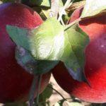 Schemă de tratament de la A la Z  pentru livezile de măr