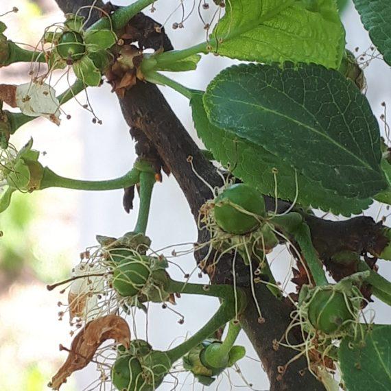 Fenofaza: Desprinderea caliciului florilor – fructe vizibile