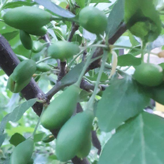 Fenofaza: cresterea fructelor 1 - 15 mai